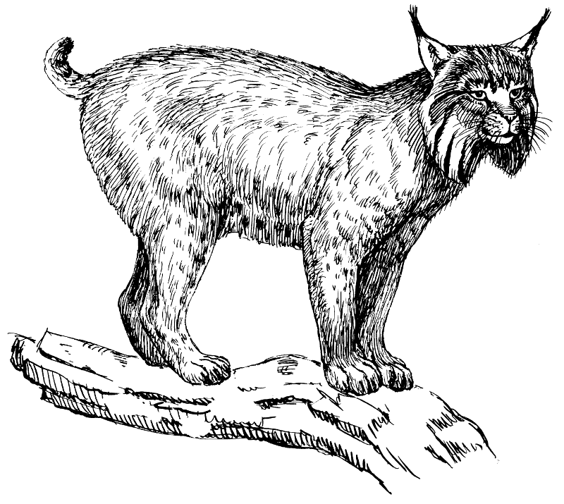 Wildcat clipart black and white Free Clipart Clip of 1
