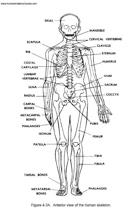 Bones clipart anatomy and physiology Anatomy 25+ Best ideas Pinterest