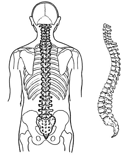 Bones clipart back bone Html png backbone backbone /medical/anatomy/bones/back/backbone