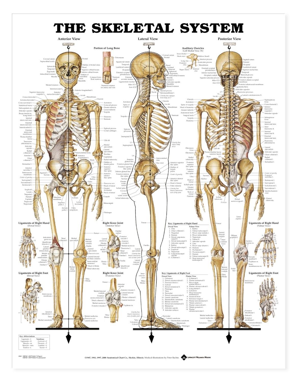 Bones clipart back bone Spine Structure Back Bone Human