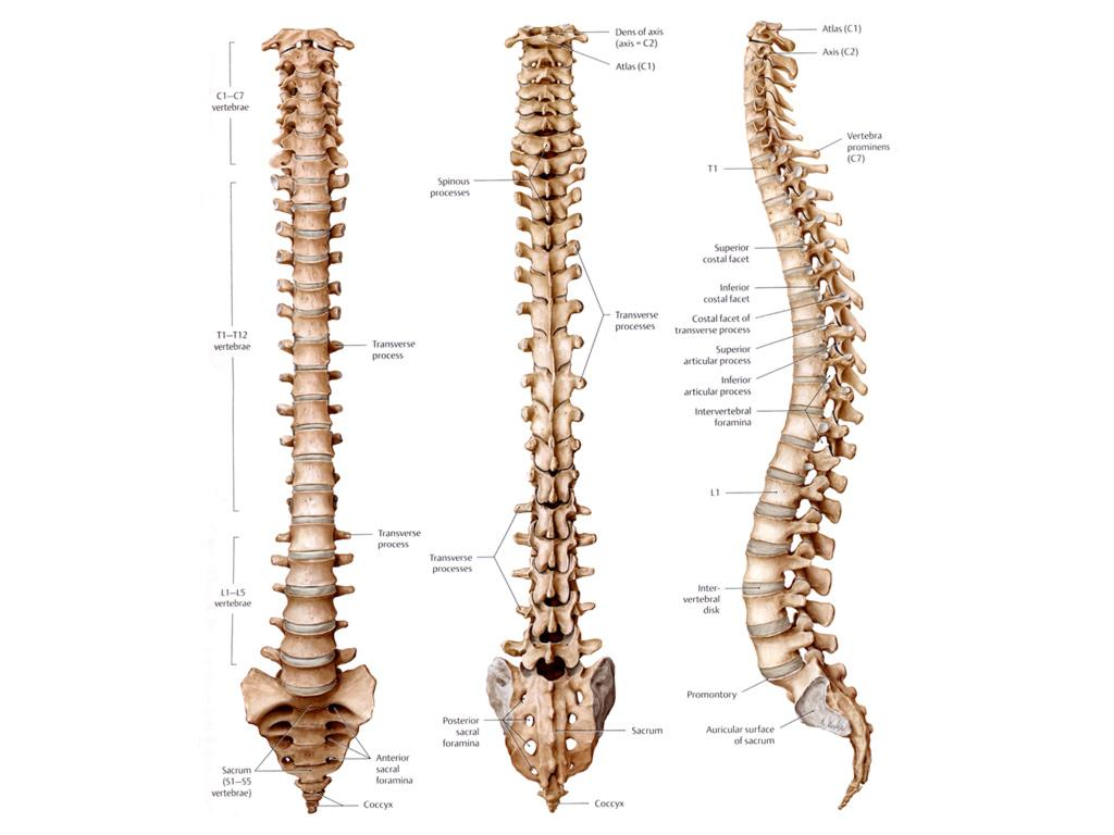 Bones clipart back bone (Homo Search and Google Pelvis
