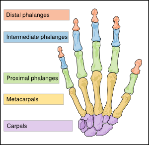 Bones clipart human biology Bones Scheme at Art En