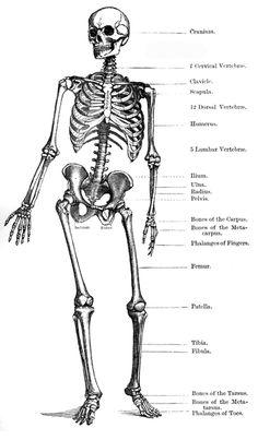 Bones clipart human biology ETC Bing Human Skeleton Pinterest