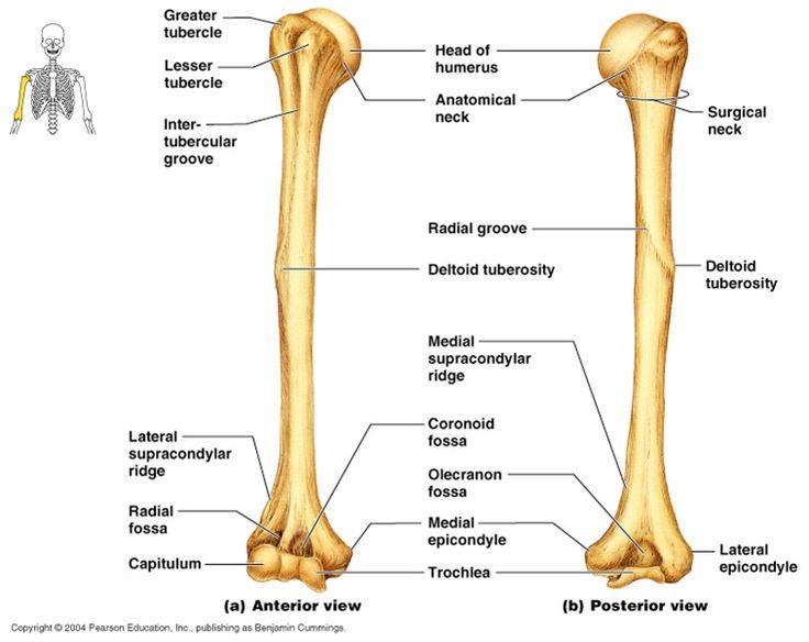 Bones clipart humerous Pinterest The best three ideas