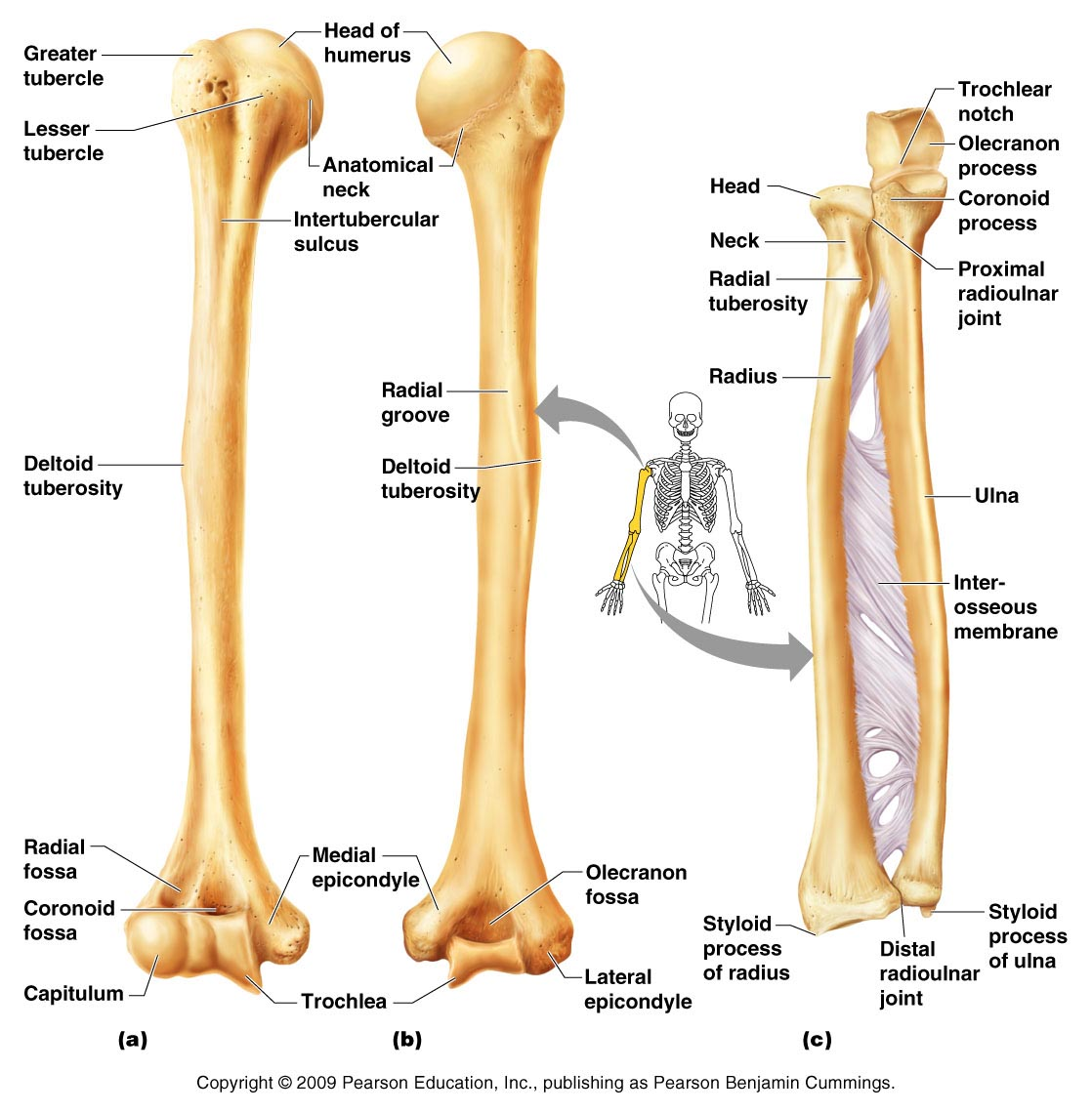 Bones clipart humerous  Skeleton Chapter 5 Appendicular