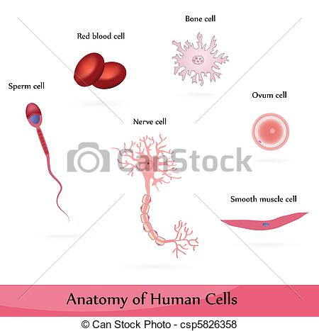 Blood clipart muscle cell Vector Human sperm  Human