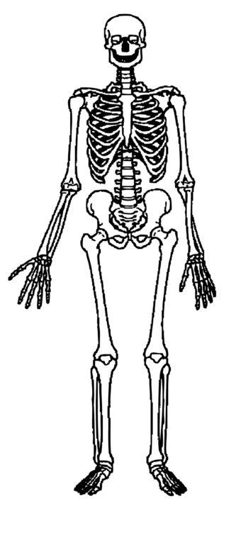 Bones clipart our body Human White Clipart #13038 Human