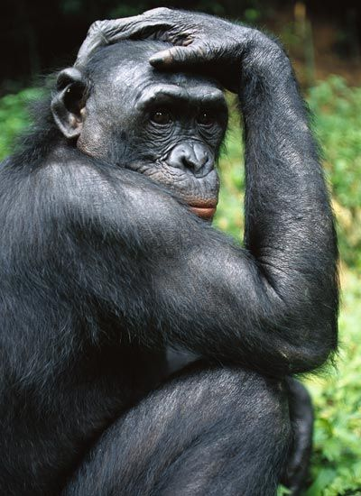 Bonobo clipart Pinterest African Pictures 364 Animal