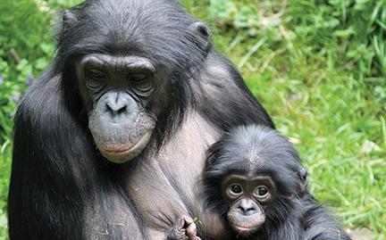 Bonobo clipart animal Bonobo coloring Bonobo Download coloring