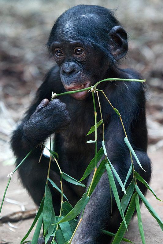 Bonobo clipart animal Bonobo Ape best images Bonobos