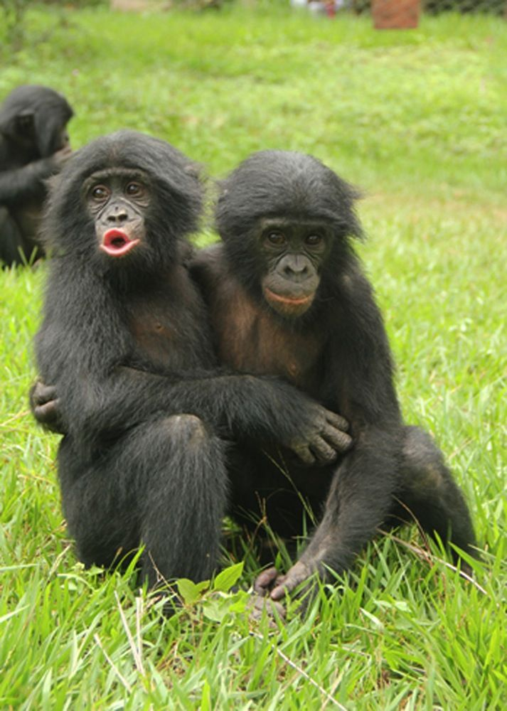 Bonobo clipart baboon Another young bonobo lost 90