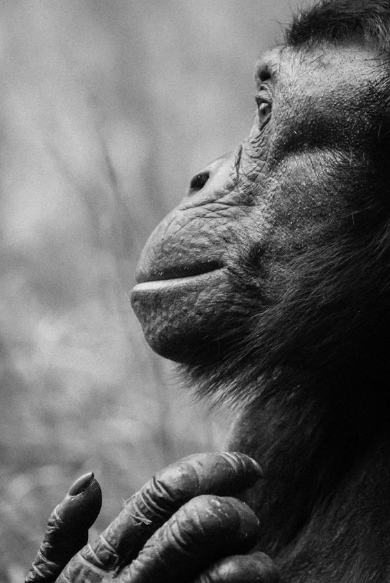 Bonobo clipart black and white Posts and and bonobo Pinterest