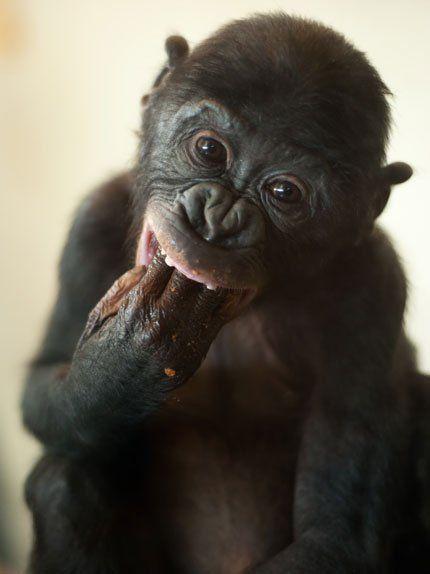 Bonobo clipart cheetah Stock of monkey Pictures Monkey