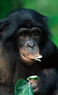 Bonobo clipart cheetah Bonobo best APES 158 Pinterest