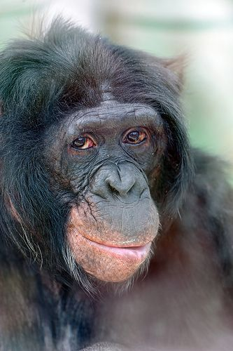 Bonobo clipart cheetah Portrait a Keller Bonobo! of