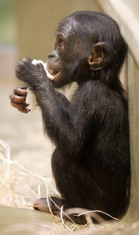 Bonobo clipart cheetah Baby ~ Bonobo! images Bonobo