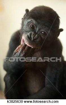 Bonobo clipart real animal On com Monkey