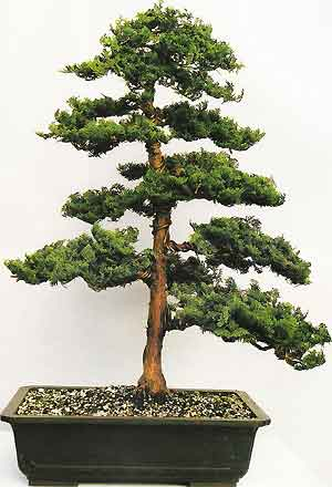 Bonsai clipart cypress tree Hinoki (chamaecyparis History obtusa) Case