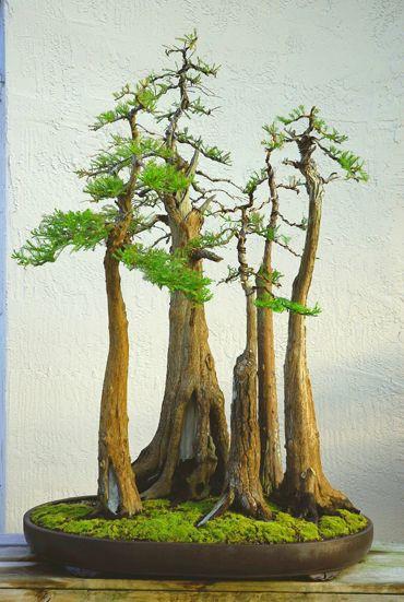 Bonsai clipart cypress tree Bonsai Bonsai 20+ forest