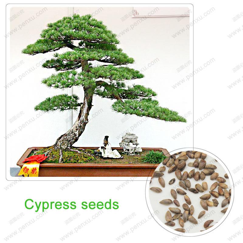 Bonsai clipart cypress tree Orientalis garden Bonsai home it