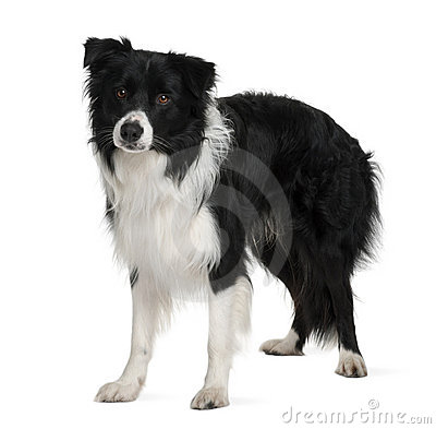 Border Collie clipart black and white Clipart years collie Puppy (79+)
