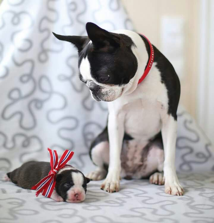 Boston Terrier clipart anime boston And this more images Find