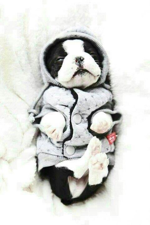 Boston Terrier clipart cute baby 150 best terrier/bulldogs/ Pinterest bulldogs