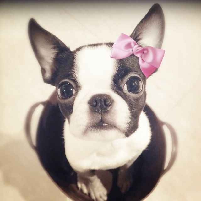 Boston Terrier clipart cute baby Click on Best ideas Teacup