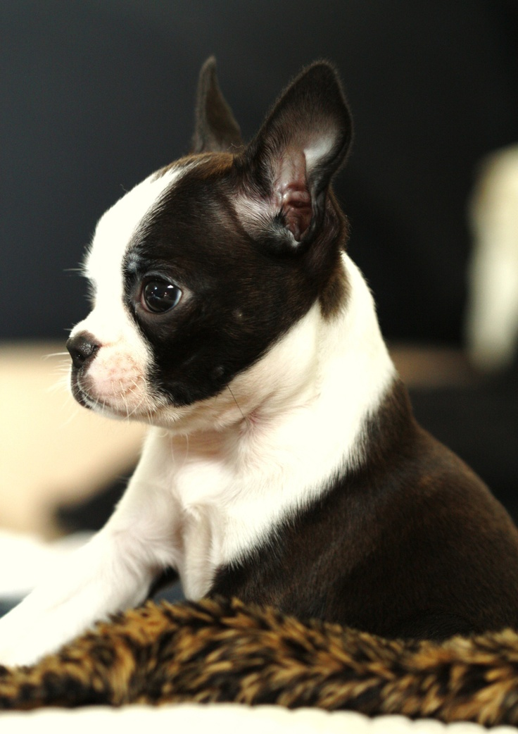 Boston Terrier clipart cute baby Honestly I Boston  mind