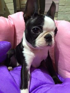 Boston Terrier clipart cute baby Have always with Boston Terrier