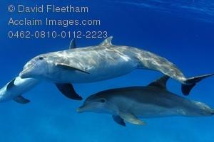 Bottlenose Dolphin clipart flipper Mammal endangered bottlenose endangered horizontal