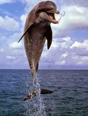 Bottlenose Dolphin clipart flipper Pinterest com/svelt888/dolphin/ Pinterest