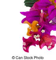 Bouganvillea clipart Flowers flowers  Clipart royalty