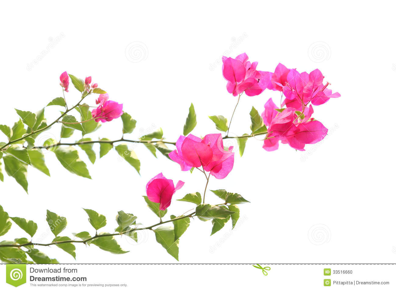 Orchid clipart transparent Art Download Bougainvillea Clipart –