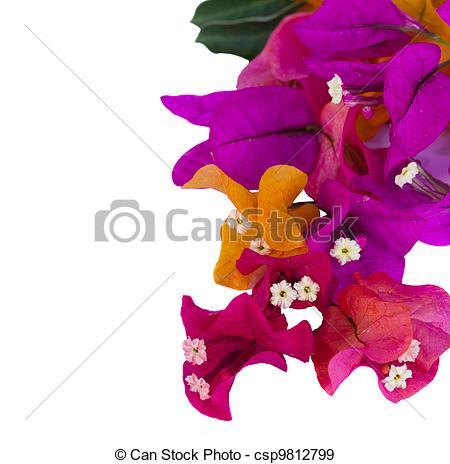 Bouganvillea clipart Illustration bougainvillea bougainvillea Stock flowers