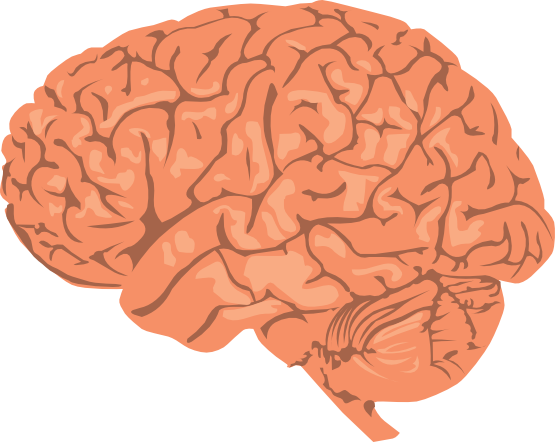 Anatomy clipart brain & Domain free is biology
