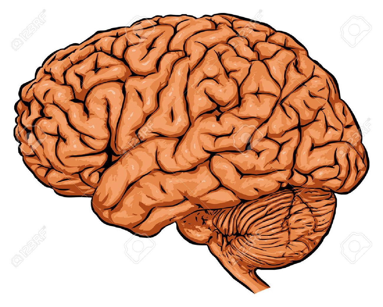 Anatomy clipart brain Brain Clipart Brain of art