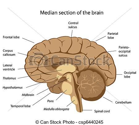 Anatomy clipart brain Section csp6440245 brain  Human