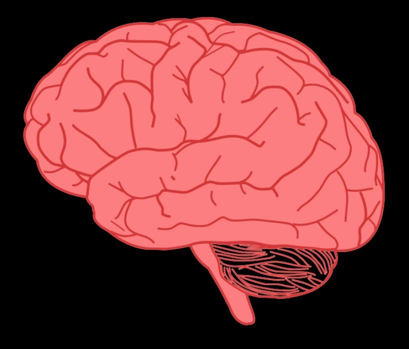 Brain clipart art png Public 742 clipart domain free
