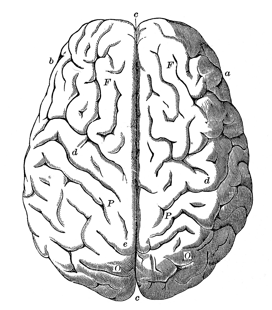 Anatomy clipart brain Clipart — Images Clipart Free
