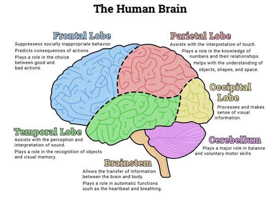 Brains clipart importance #6