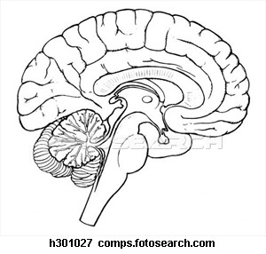 Drawn brains public domain Vector Sagittal Clker Images Free