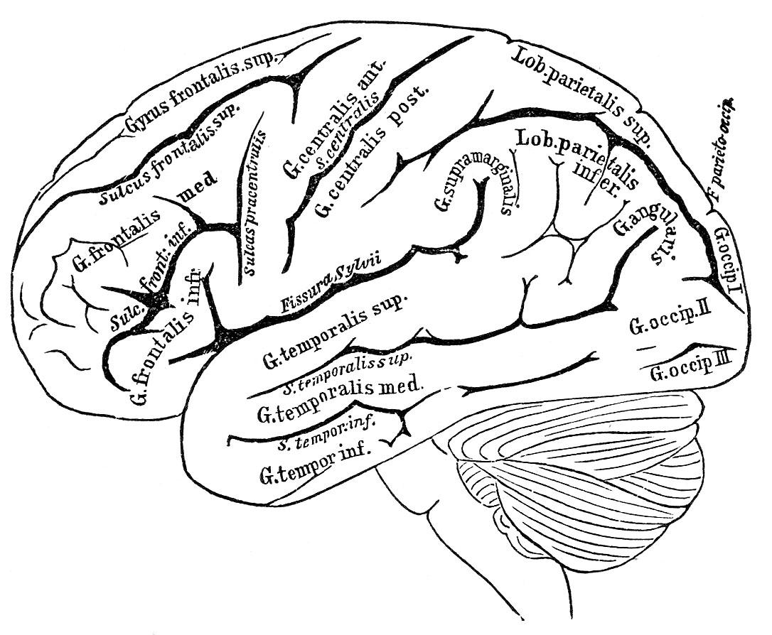 Anatomy clipart brain Art Clipartix clipart white Pictures