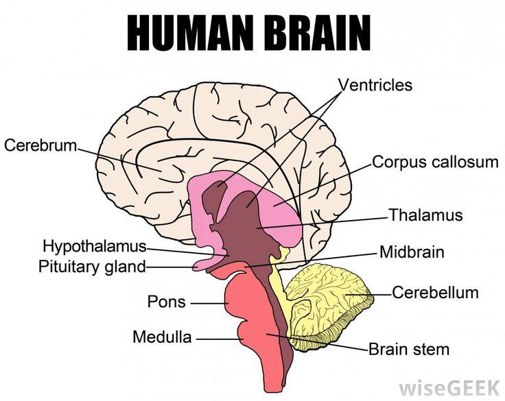 Brains clipart project idea psychology On ideas Neuropsychology: a would