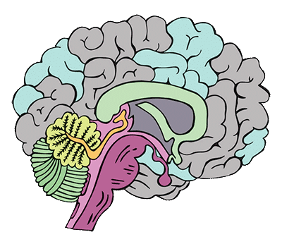 Brains clipart the adolescent Is our the that Exploring