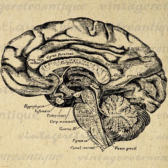 Medical clipart teddy bear Clip Anatomy Brain Image Brain
