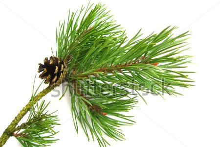 Branch clipart bough Pine Floating Clipart  Pine