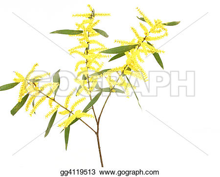 Branch clipart wattle  damage foliage structure Stock