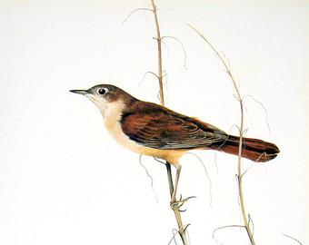 Brds clipart nightingale Illustraton Nightingale Vintage 12x16 Page