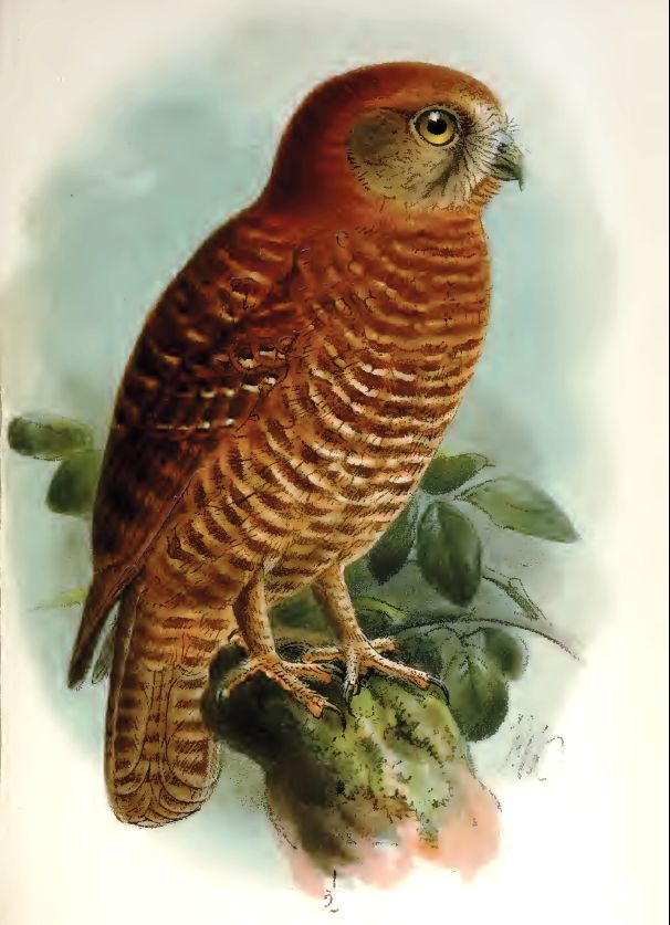 Brown Hawk Owl clipart Download drawings #20 Download Brown